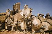 Group of Griffon Vultures ( Gyps fulvus) feeding . Huesca, Spain