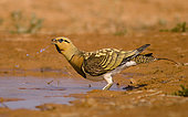 Male of Sand Grouse ( Pterocles alchata) drinking in a pond. Zaragoza, Spain.