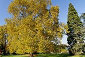 Platanus orientalis, Sequoiadendron giganteum, Ecole du Breuil, Bois de Vincennes, Paris, France