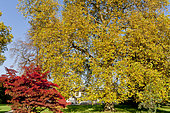 Platanus orientalis, Acer palmatum atropurpureum, Ecole du Breuil, Bois de Vincennes, Paris, France