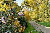 Platanus orientalis, Ecole du Breuil, Bois de Vincennes, Paris, France