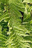 Dryopteris affinis `Polydactyla Dadds'