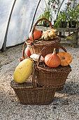 Courges variées et paniers en osier dans une serre, automne, Somme, France