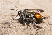 Golden digger wasp (Sphex funerarius) reporting a Cricket in its gallery, Regional Natural Park of Northern Vosges, France