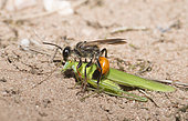 Golden digger wasp (Sphex funerarius) reporting a Sickle-bearing Bush Cricket (Phaneroptera falcata) in its gallery, Regional Natural Park of Northern Vosges, France