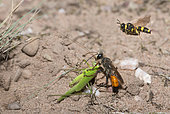 Golden digger wasp (Sphex funerarius) reporting a Sickle-bearing Bush Cricket (Phaneroptera falcata) in its gallery and Ornate Tailed Digger Wasp (Cerceris rybyensis) reporting a Mining bee (Lasioglossum sp), Regional Natural Park of Northern Vosges, France