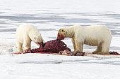 Two polar bears (Ursus maritimus) eating together a walrus (Odobenus rosmarus), on the ice, Spitsbergen, Svalbard, Norwegian archipelago, Norway, Arctic Ocean