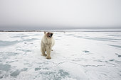 Polar bear (Ursus maritimus) standing on the ice, Spitsbergen, Svalbard, Norwegian archipelago, Norway, Arctic Ocean