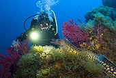 Diver and Moray on the reef, Sarranier, Porquerolles, Mediterranean Sea