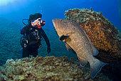 Diver and 'Bebert' the Dusly grouper (Epinephelus marginatus), Scandola, Corsica, Mediterranean Sea