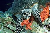Hawksbill Turtle (Eretmochelys imbricata) feeding on Alcyonarians on reef, Elpphinstone, Egypt, Red Sea