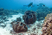 Diver and Giant Clams field (Tridacnidae sp), Australia, South Pacific.