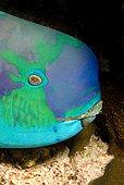 Portrait of Parrotfish