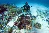 Diver and Giant Clams (Tridacnidae sp), Australia, South Pacific.