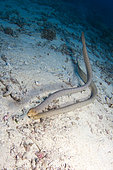 Pair of Sea Snake on Reef, Great Barrier Reef, Australia