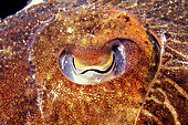 Yeye of Common cuttlefish (Sepia officinalis), Mediterranean Sea