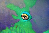 Eye of Parrotfish