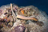 Sea Snake on Reef, Great Barrier Reef, Australia