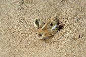 Yeux de Crevette caramote (Penaeus kerathurus) dans le sable