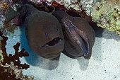 Giant moray (Gymnothorax javanicus) in reef, Maldives, Indian Ocean
