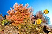Sea fan and Butterflyfish (Chaetodon sp), Lady Elliot Island, Great Barrier Reef, Australia
