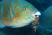 Parrotfish grazing coral, Madagascar, Indian Ocean.