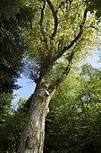 Chêne pédonculé (Quercus robur) avec statue miniature en chêne (16 cm de haut) de la Vierge incorporée dans le tronc en forêt, Montdoré, Haute-Saône, France