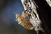 Grey cicada (Cicada orni) exuvia on pine in forest, Sanary, Var, France