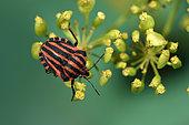 Shield bug (Graphosoma lineatum) on Parsnip (Pastinaca sativa) in fruit, vegetable garden, Belfort, Territoire de Belfort, France
