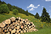 Agricultural detriment, pastures invaded by Cytisus scoparius, pile of wood, high valley of the Meurthe, towards Le Valtin, Vosges, France