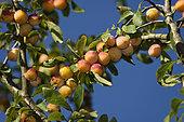 Mirabelle plum (Prunus domestica syriaca) 'Lorraine', fruits on branch in orchard, Belfort, Territoire de Belfort, France