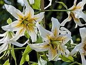 Lilium 'Bright Star'