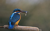 Kingfisher (Alcedo atthis) with fish in its beak, Huesca, Spain