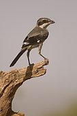 Iberian Grey Shrike (Lanius meridionalis) Muel, Zaragoza, Spain