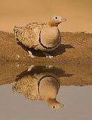 Black bellied Sand Grouse (Pterocles orientalis), male Muel, Zaragoza, Spain
