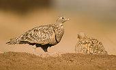 Black bellied Sand Grouse ( Pterocles orientalis), female. Muel, Zaragoza, Spain