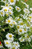 Leucanthemum superbum 'Rijnsburg Glory'