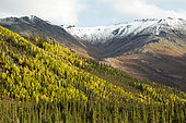 Dalton Highway : from Fairbanks to Prudhoe Bay, The forest of white spruces in autumn near the chain of Brooks, Alaska, USA