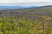 Dalton Highway : from Fairbanks to Prudhoe Bay, Vegetation repels after fires caused by lightning, Alaska, USA