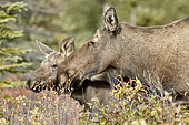 Alaskan Moose (Alces alces gigas) and young in autumn, Denali Highway: from Paxson to Cantwell, Alaska, USA