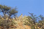 Guépard (Acinonyx jubatus) femelle sur une dune et jeunes cachés derrière les Acacias (Acacia erioloba), Désert du Kalahari, Kgalagadi Transfrontier Park, Afrique du Sud.