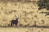 Gemsbok (Oryx gazella) mâle au repos à l'ombre d'un Acacia (Acacia erioloba)., Désert du Kalahari, Kgalagadi Transfrontier Park, Afrique du Sud.