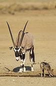 Gemsbok (Oryx gazella) mâle et Chacal à chabraque (Canis mesomelas) du point d'eau, Désert du Kalahari, Kgalagadi Transfrontier Park, Afrique du Sud.