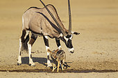 Gemsbok (Oryx gazella) mâle essayant de chasser un Chacal à chabraque (Canis mesomelas) du point d'eau, Désert du Kalahari, Kgalagadi Transfrontier Park, Afrique du Sud.