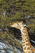 Girafe australe (Giraffa giraffa) femelle se nourrissant d'un Acacia (Acacia erioloba), Désert du Kalahari, Kgalagadi Transfrontier Park, Afrique du Sud.