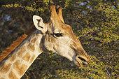 Girafe australe (Giraffa giraffa) Mâle se nourrissant d'un Acacia (Acacia erioloba), les épines ne lui font pas mal, Désert du Kalahari, Kgalagadi Transfrontier Park, Afrique du Sud.
