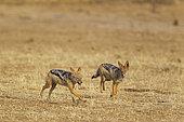 Chacal à chabraque (Canis mesomelas) jouant, Désert du Kalahari, Kgalagadi Transfrontier Park, Afrique du Sud.