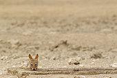 Chacal à chabraque (Canis mesomelas) buvant à un point d'eau artificiel, Désert du Kalahari, Kgalagadi Transfrontier Park, Afrique du Sud.