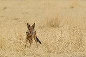 Chacal à chabraque (Canis mesomelas), Désert du Kalahari, Kgalagadi Transfrontier Park, Afrique du Sud.