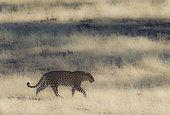 Leopard (Panthera pardus). Roaming male. Kalahari Desert, Kgalagadi Transfrontier Park, South Africa.